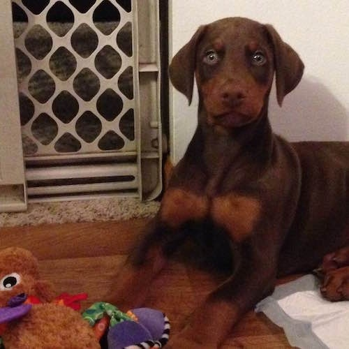 Ike the brown and tan Doberman pinscher Puppy is laying in a room next to a pee pad. There is a bunch of plush toys in front of him and a baby gate behind him.