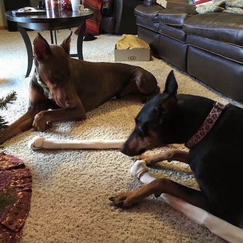 Nina the black and tan Doberman pinscher and Ike the Brown doberman pinscher are laying on a carpet with rawhide bones next to them. There is a Christmas tree in front of them, a black leather couch next to them and a coffee table behind them.