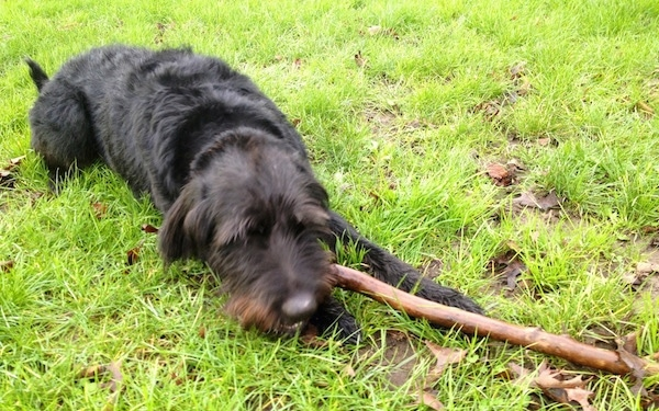 Sacha the Dobie Schnauzer is laying in a field with a large stick in its mouth