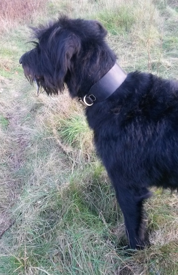 Sacha the Dobie Schnauzer is wearing a thick leather collar and standing outside in tall grass and looking to the left