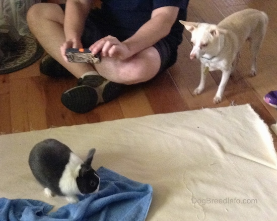 A gray and white dwarf Netherland bunny on a tan blanket next to a blue towel with a small dog standing next to a human who is sitting taking a picture in front of the blanket on a hardwood floor