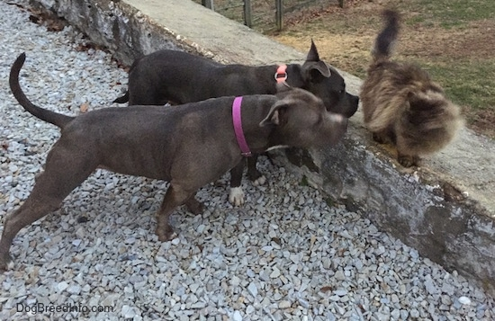 The right side of a black with white American Bully and a gray with white Pit Bull Terrier are getting close to a terrified cat that is on top of a stone wall.