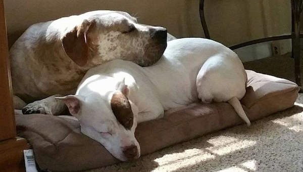 Two large, bully-mastiff type dogs laying on a dog bed. One dog is white with a patch of brown over one eye sleeping on the bottom of the bed and the second dog is white with a lot of brown ticking and brown ears and it has its head on top of the other dog.