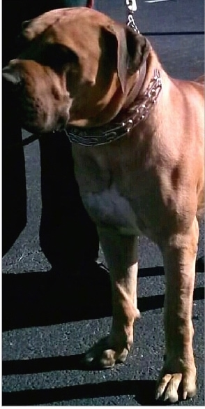 Front side view - A brown with a small amount of black and white bully-mastiff type dog wearing a prong collar standing in a parking lot looking to the left with a person next to it holding its leash.