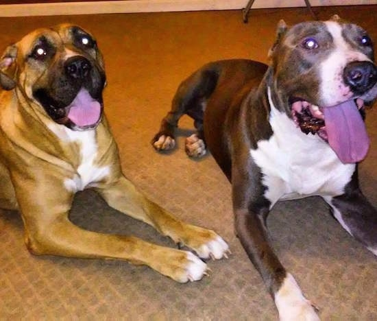 Front-side view - Two large breed mastiff type dogs laying side by side on a tan carpet. One dog is tan with black and white and the other is blue with white. Both dogs have their tongues showing.