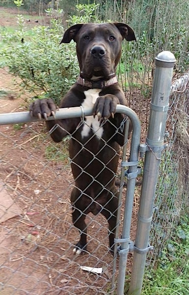 Front view - A large-breed black dog with a white chest is jumped up with its front paws on the gate of a chainlink fence. The dog has natural rose ears.