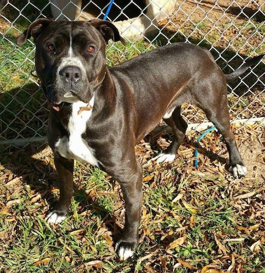 Front side view - A black with white bully-masttiff type dog standing in grass in front of a chainlink fence.