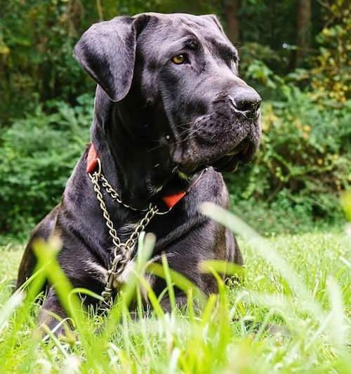 Domitius Maximus Mastiff Dog Breed Pictures Page 1