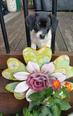 A small, young drop-eared tricolor black, tan and white puppy jumped up on the rail of a wooden deck with its head poking through the black medal rails in front of a garden that has real and fake flowers in it.