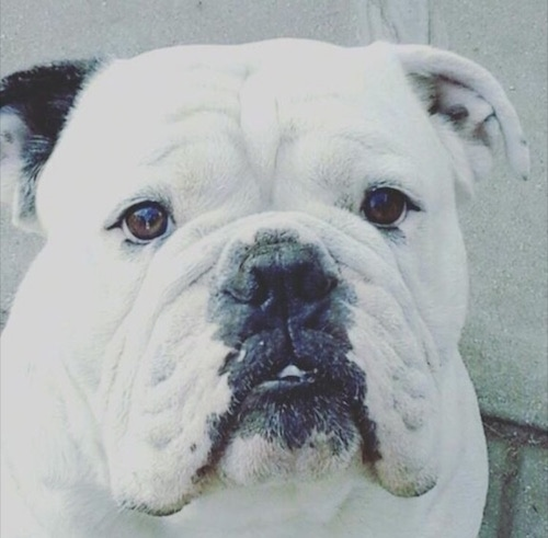 Close Up head shot - A large-headed, white with one black ear dog with wrinkles on its wide short snout, round dark eyes, a black nose and black lips. The dog has an underbite and large long lips that hang down to the sides.