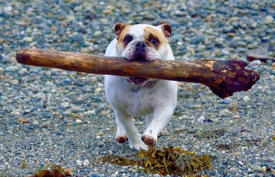Chicklet the English Bulldog running with a large driftwood log