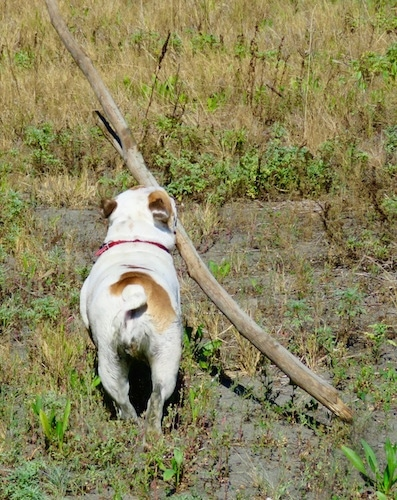 A white and tan Bulldog moving away from the camera in a field with a huge stick in its mouth