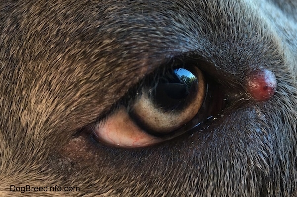 Close up - A red tumor looking lump on the corner of a dog's eye.