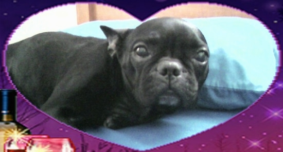 A black French Bulldog is laying on a bed. There is an overlay of a heart as a border.