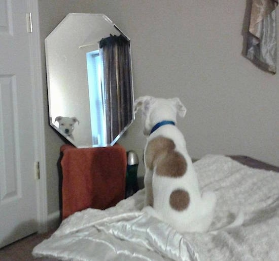 A white with tan Pit Bull dog sitting on a human's bed looking into a mirror that is on the wall in front of him.