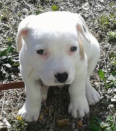 A white with tan Pit Bull puppy sitting outside looking relaxed.