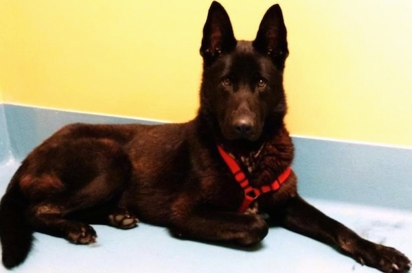 A black German Shepherd wearing a red harness on a blue floor against a yellow wall.