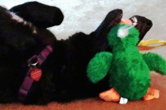 A black German Shepherd laying upside-down belly-up chewing on a green duck plush toy.