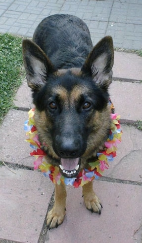 A black and tan dog standing on a flag stone walkway wearing a necklace of flowers around its neck