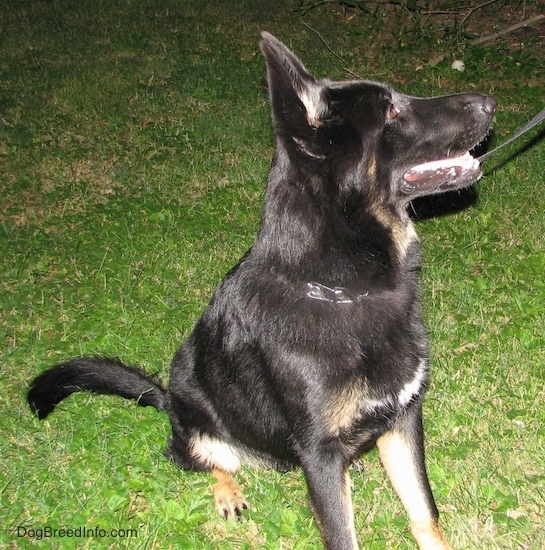 A black with tan shepherd sitting outside in the grass looking to the right wearing a prong collar while on a black leash
