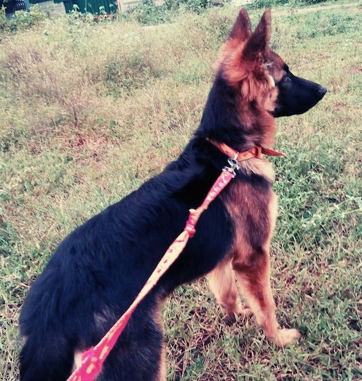 A black with tan German Shepherd puppy standing outside in grass on a leash looking forward