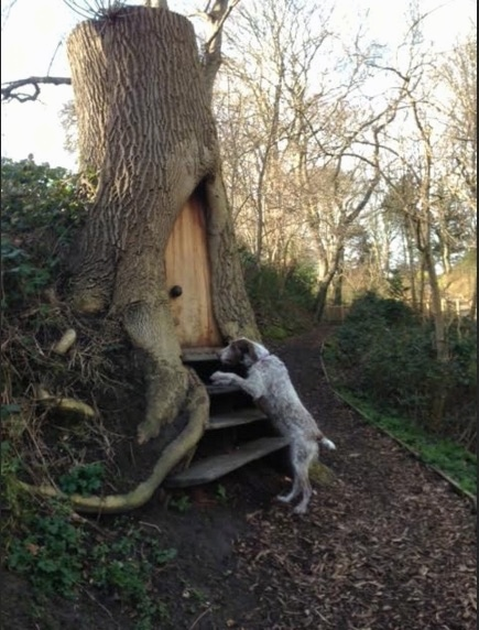 Side view -  A large breed, wiry, brown and white dog jumped up at a tree that has wooden steps leading up to a hollow area that a door is built into making a tree fort in the side of a hill.