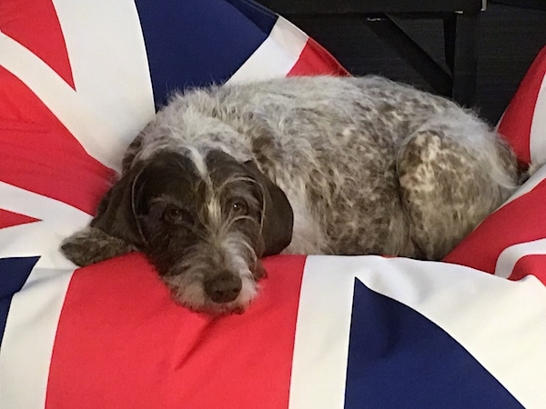 A large breed, wiry, brown and white dog laying down on top of a British flag.