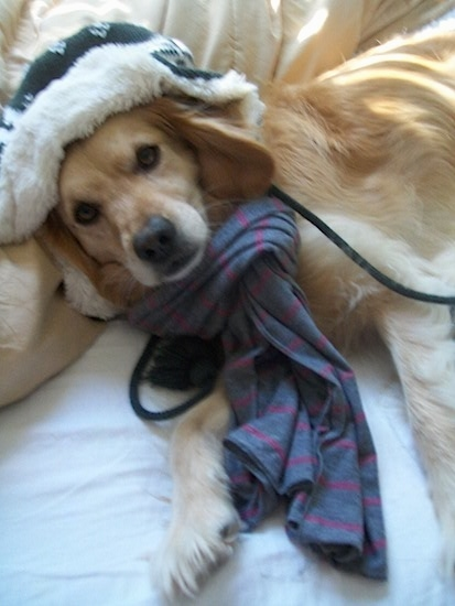 A tan Golden Cocker Retriever is laying on a human's bed. It is wearing a blue and purple striped scarf and a green and white hat