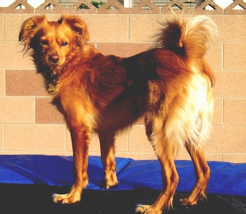 A Golden Cocker Retriever is standing outside on top of a trampoline in front of a tan brick wall looking back