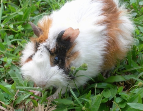 Close up - A fluffy white and tan with black guinea pig is standing in grass looking to the left.