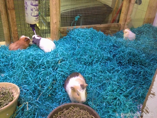 Four guinea pigs inside of a wooden cage with teal-blue grass as bedding, large bowls of pellets and timothy hay and a water bottle hanging on the side.