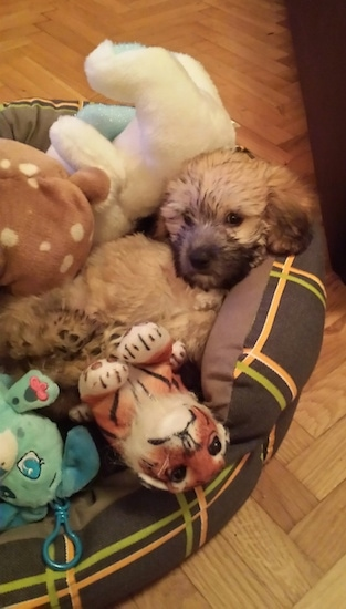 A tan Havanese puppy is laying in a brown dog bed on a hardwood floor under a bunch of plush toys.