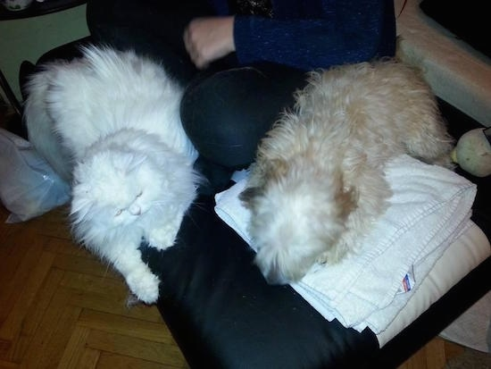 A tan Havanese is laying on a large pillow on top of a white towel next to a person that is sitting on it. In front of the person is a big white cat that is the same size as the dog.