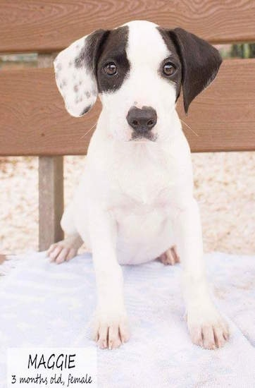 A white and black Hound mix puppy is sitting on top of a white towel on a wooden bench. The words - Maggie 3 months old, female - are overlayed.