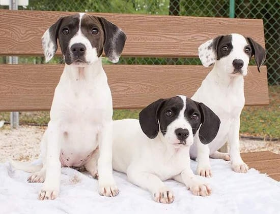 Three white and black Hound mix puppies are laying on a bench on top of a white towel. The two pups on the end are sitting and the pup in the middle is laying down. They are all facing forward.
