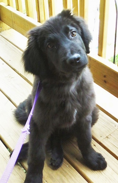 Front view - a fuzzy black puppy with a little bit of white on its chest sitting on a wooden deck connected to a purple leash with its head tilted to the left.