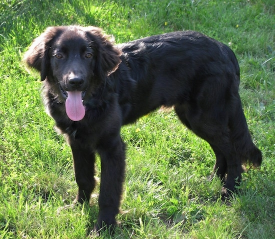 Side view - a furry, happy looking black dog standing in grass with its tail relaxed and hanging down next to him almost touching the ground. The dogs long tail is hanging out.
