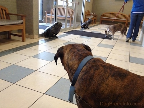 The left side of a brown brindle with white Boxer that is looking back at people and dogs in a waiting room