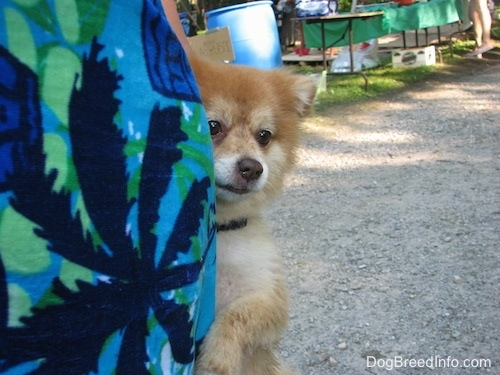 Nikko the Pomeranian jumping up against a lady's leg