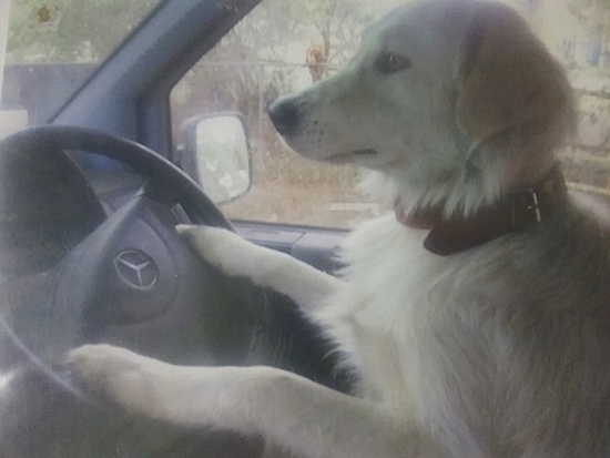 A large breed white furry dog with a thick brown leather collar in the drivers side of a Mercedes car with its front paws on the steering wheel.