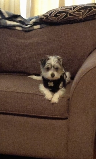 A grey with white Jack-A-Poo puppy is wearing a black vest laying on a brown couch looking forward with its paws over the edge.