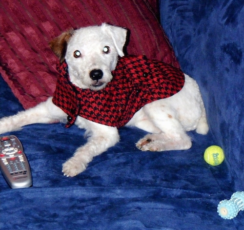 A white with brown Jackapoo is wearing a red and black sweater and is laying on a couch. There is a comcast remote in front of it and a tennis ball behind it.