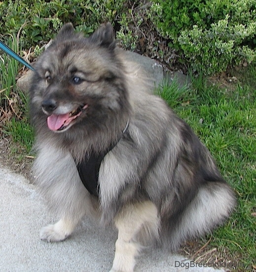 Front side view - A fluffy gray and black dog sitting in the grass with its front paws on a sidewalk with its ears pinned back slightly and its tongue showing. It is wearing a black harness.