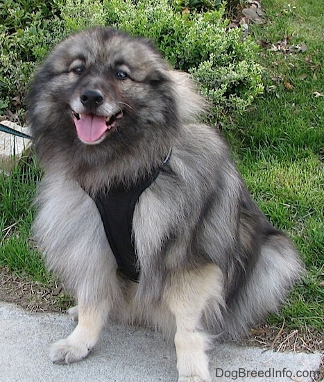 Front view - A happy looking, fluffy gray and black dog sitting in the grass with its front paws on a sidewalk with its tongue showing. It is wearing a black harness. Its ears are pinned back.