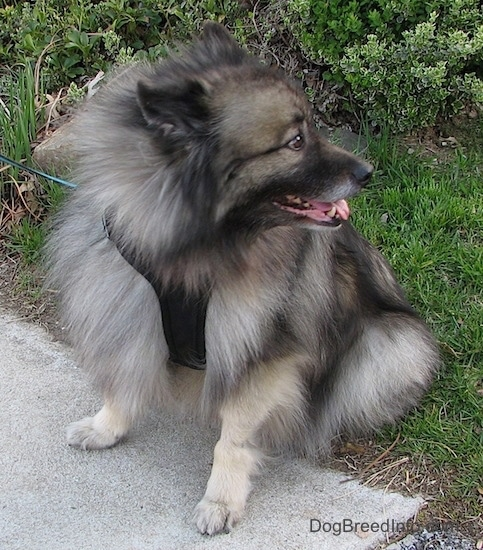 Front side view - A fluffy gray and black dog sitting in the grass with its front paws on a sidewalk with its tongue showing looking to the right.