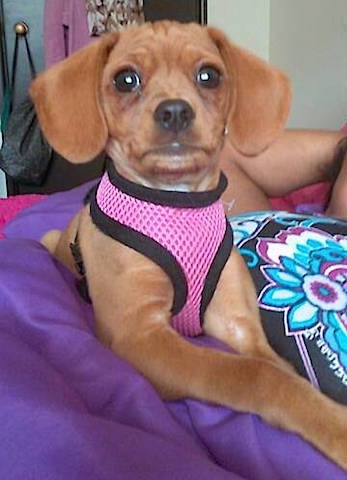 A small tan dog wearing a pink harness with drop ears and wide brown eyees laying on a purple blanket on top of someone's belly on a bed.