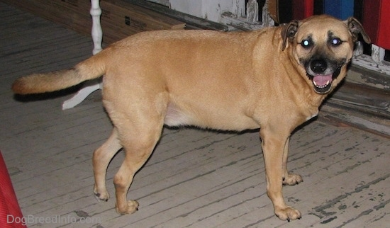 A large overweight brown dog with a black muzzle standing on a wooden porch deck smiling at the camera