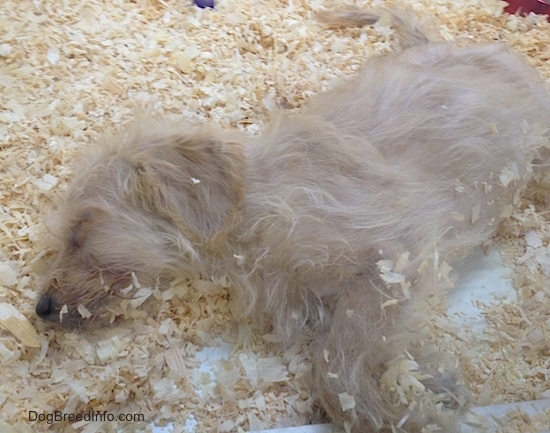 A fuzzy tan puppy sleeping on its side in wood chips with wood stuck to its belly and face.