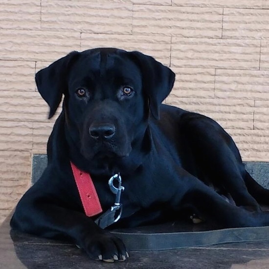 A black Labrador Retriever is laying on a metal surface outside and looking forward