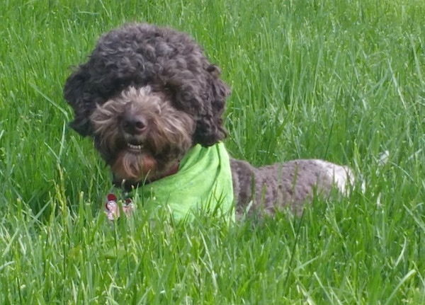 A curly-coated brown and white Lagotto Romagnolo is laying in tall grass and it is wearing a green bandana. Its mouth is slightly open